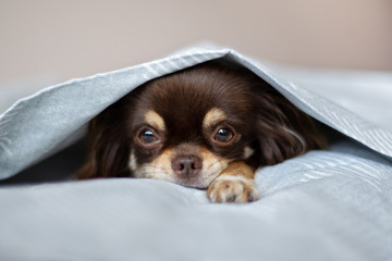 chihuahua dog lying in bed under a cover
