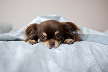 chihuahua dog lying on a bed