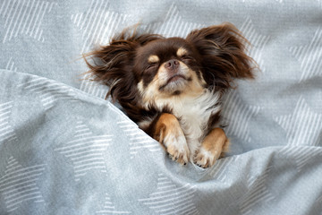 adorable chihuahua sleeping under bed cover top view
