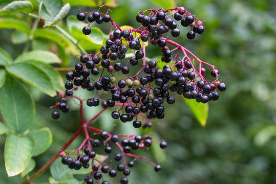 sambucus nigra, elderberry, black elder berries on twig closeup
