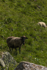 sheeps between the beautiful swiss alps near toggenburg