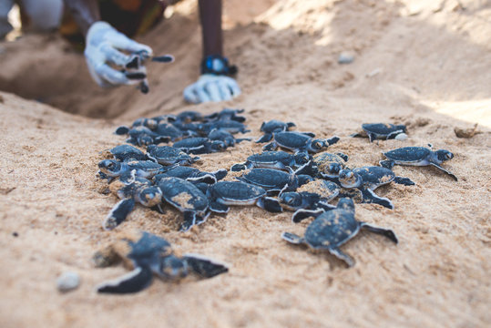Baby turtles crawling out of nest on beach with conservationist