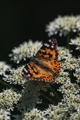 Detailed macro shot of an orange butterfly, resting on a flower