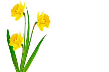 Deurstickers Narcis spring flowers narcissus isolated on white background