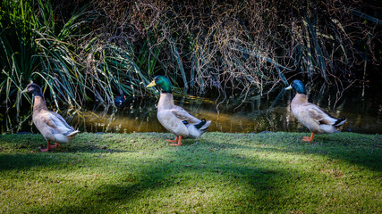 Three ducks are walking in a row on the grass next to a pond.