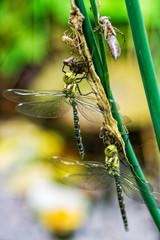 Libellenschlupf im Doppelbpack