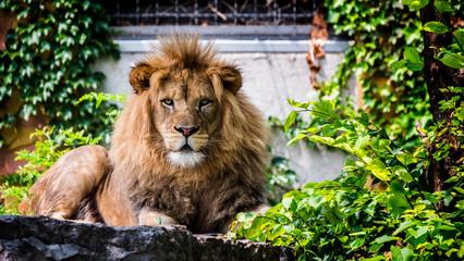 Portrait of a formidable male lion