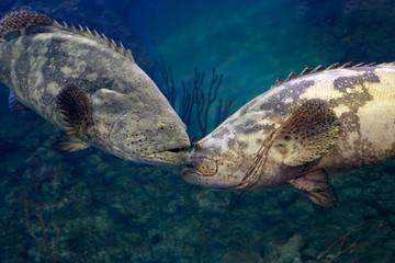 Goliath grouper (Epinephelus itajara). Two big fishes