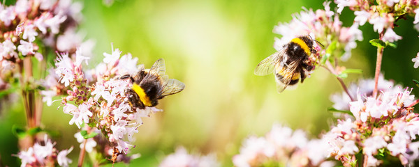 Photo sur Aluminium Bee Bumblebee on marjoram flowers