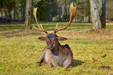 Imposing deer basks in the forest clearing.(fallow deer)