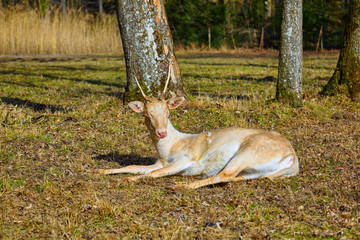 Rare albino deer in the forest clearing