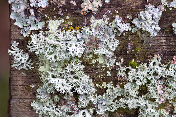 beautiful moss over old bark background for natural texture