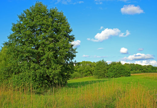 Green summer meadow and big alder tree. Idyllic summer background with forest edge in sunny day