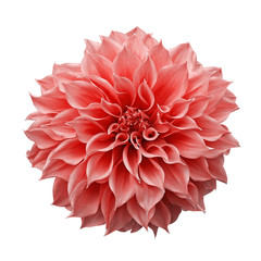 Poster Dahlia Trendy pink-orange or coral colored Dahlia flower the tuberous garden plant isolated on white background with clipping path.