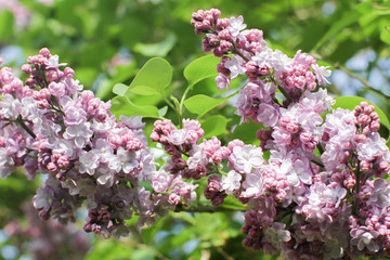 close-up of blossoming purple lilac for beautiful spring outdoor