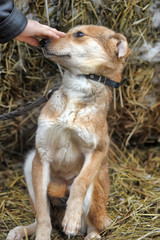 scuffed light brown dog half-breed on a background of hay