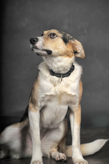 white tricolor mongrel dog on a gray background in the studio