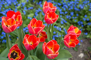 Showy spring blooming red tulips in flowerbed