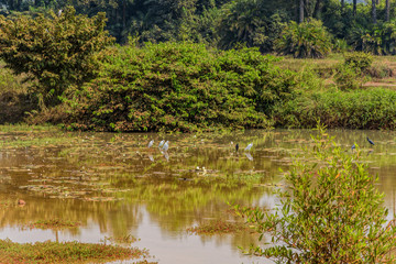Natural green wetland vegetation with white egrets in Guinea, Africa.