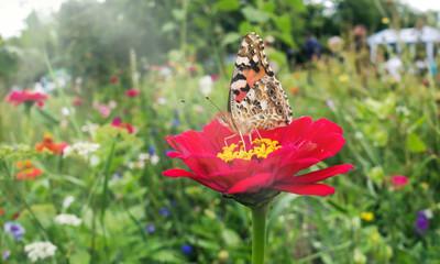 bunte Blumenwiese mit Distelfalter im Sommer