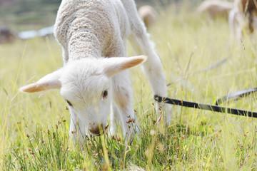 White lamb got entangled on the field.