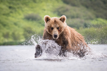 TheKamchatkabrownbear, Ursus arctos beringianus catches salmons at Kuril Lake in Kamchatka, running in the water, action picture..