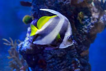 Pennant coralfish (Heniochus acuminatus) or reef bannerfish