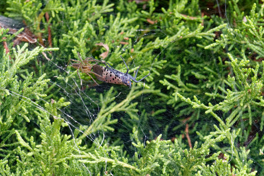 Nurseryweb spider has caught a spotted lantern fly in its web on an arborvitae shrub. The spotted lantern fly pest is under an order of quarantine in many counties in Pennsylvania.