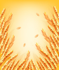 Ears of wheart and dried whole grains on yellow background. Vector illustration