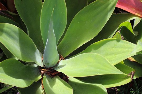 succulent closeup big leaves