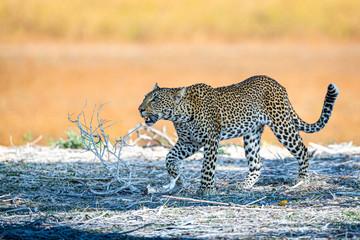 Door stickers Leopard Leopard looking up