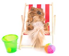 Obraz puppy pomeranian in studio - fototapety do salonu