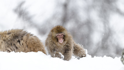 Japanese snow monkey cubs playing on snow