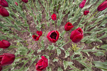 Background of tulips in a flowerbed