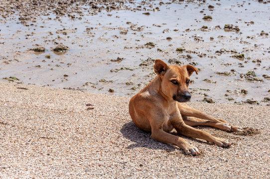 Stray dog lying on the beach at Baia das Gatas (Sao Vicente Island, Cape Verde)