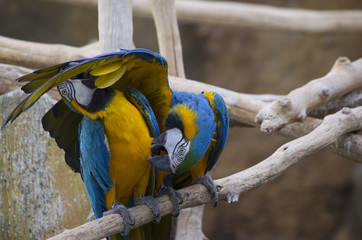 Poster blue and yellow parrot