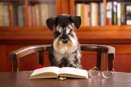 Miniature schnauzer dog reads a book in the classroom