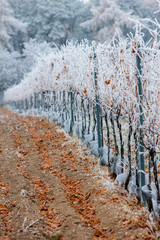 vineyards in winter, Znojmo region, Czech Republic