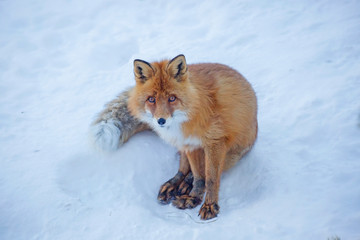 Red Fox.  Fox is a predatory mammal of the family of dogs. Externally, the Fox is a medium-sized animal with an elegant body on low legs, with an elongated muzzle, pointed ears and a long fluffy tail.