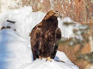 Golden eagle.  Golden eagle is one of the most famous birds of prey of the family of hawks, the largest eagle. Eagles have long been a symbol of courage and nobility.