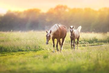 Palomino horses on spring pasture
