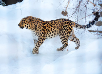 Amur leopard.  The far Eastern leopard, or Amur leopard, or Amur leopard is a predatory mammal of the cat family. A unique species in danger of extinction.