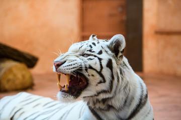 Wall Mural - White Bengal tiger roaring
