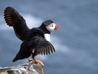 Fotobehang Noord Europa Puffin on the rocks at latrabjarg Iceland on a sunny day.