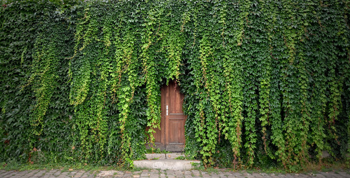 Door with ivy stock images. Beautiful Prague Place. Green ivy with door. Wooden door with ivy. Kampa Park in Prague. Romantic garden still life
