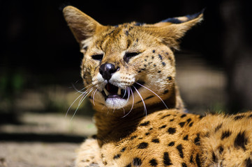 Wall Mural - Serval wild cat