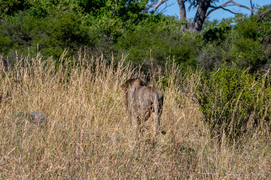 Lions walking away in tall grass