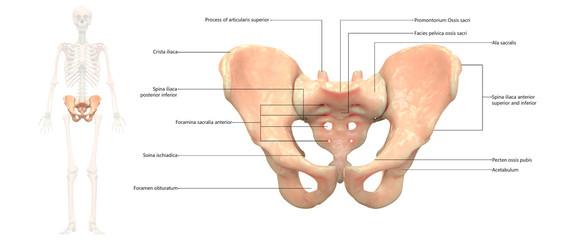 Human Skeleton System Pelvis Anatomy Anterior View