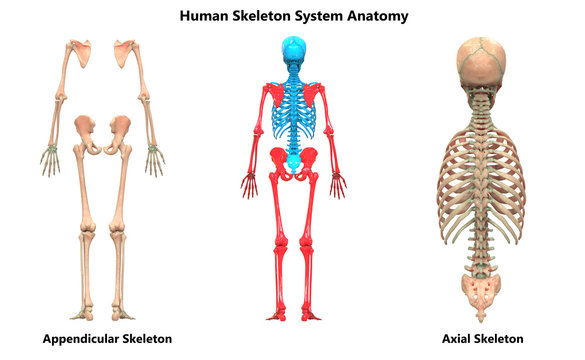 Human Skeleton System Appendicular and Axial Skeleton Anatomy Posterior View