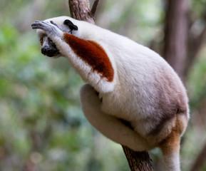 Verreaux's sifaka close up (Propithecus verreauxi), Andasibe National Park, Madagascar